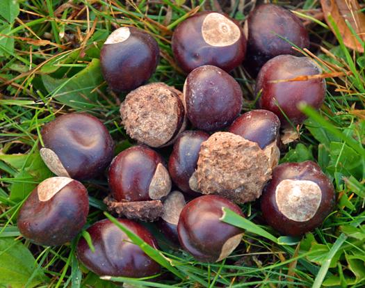 picture of buckeye nuts from Ohio buckeye tree